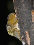 Male Pygmy Marmoset (Callithrix Pygmaea) Carrying Young on its Back While Clinging to a Tree
