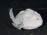 White Variation of the Striated Frogfish (Antennarius Striatus) Sitting on Muck Bottom  Sulawesi