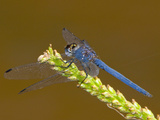 Navy Dropwing Dragonfly Male Perched (Trithemis Furva)  South Africa