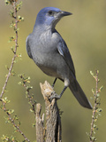Pinyon Jay (Gymnorhinus Cyanocephalus) Perched on a Branch  Oregon  USA