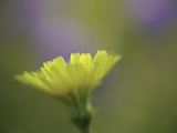 Desert Dandelion (Malacothrix Glabrata)  Anza Borrego State Park  California  USA