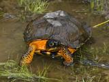Wood Turtle (Glyptemys Insculpta)  Pennsylvania  USA