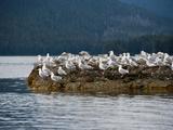 Glaucous Gulls (Larus Hyperboreus)  Kuiu Island  Alaska  USA