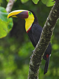 Chestnut-Mandibled Toucan  Costa Rica