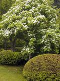 Kousa Dogwood (Cornus Kousa)  Japanese Garden  Portland  Oregon  USA