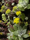 Broadleaf Stonecrop (Sedum  Spathulifolium) Growing on Coastal Cliffs  California  USA