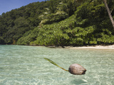 Coconut Floating in Lagoon  Micronesia  Palau