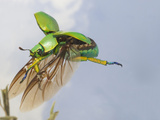 Jewel Beetle in Flight (Chrysina Woodi)  Texas  USA