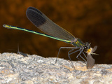 Male River Jewelwing Damselfly with Prey (Calopteryx Aequabilis)