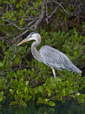 Great Blue Heron (Ardea Herodias)  Isabela Island  Galapagos Islands