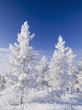 Snow Covered Trees in Urho Kehkkosen National Park in Northern Finland