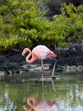 Greater Flamingo (Phoenicopterus Ruber) Santa Cruz Island  Indefatigable Island  Galapagos Islands