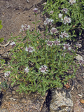 Coyote Mint (Monardella Odoratissima Pallida)  Lassen National Park  California  Family Lamiaceae
