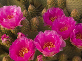 Beavertail Cactus Flowers (Opuntia Basilaris)  Mojave Desert  Joshua Tree National Park  California