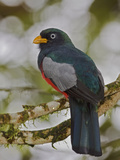 Choco or White-Eyed Trogon (Trogon Comptus) Perched on a Branch  Milpe Reserve  Ecuador