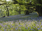 Meadow of Bluebell Flowers (Endymion Non-Scriptus) on the Forest Floor under Beech Trees