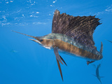 Atlantic Sailfish (Istiophorus Albicans)  Isla Mujeres  Yucatan Peninsula  Caribbean Sea  Mexico