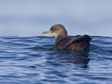 Sooty Shearwater (Puffinus Griseus) Swimming on the Ocean Near Victoria  British Columbia  Canada