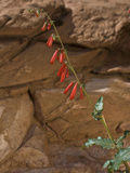 Firecracker Penstemon (Penstemon Eatonii)  Capitol Reef National Park  Utah  USA