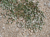 Rattlesnake Weed (Euphorbia Albomarginata)  Joshua Tree National Park  California  Mojave Desert