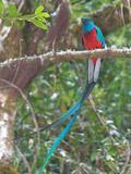 Resplendent Quetzal  Costa Rica