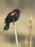 Red Winged Blackbird  North America