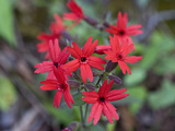 Fire Pink (Silene Virginica)  Great Smoky Mountains National Park   Family Caryophyllaceae