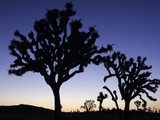 Joshua Trees Silhouetted at Dusk in Joshua Tree National Park  California  USA