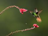 Rufous-Tailed Hummingbird (Amazilia Tzacatl) Nectaring at a Fuchsia Flower  Costa Rica