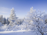 Snow Covered Forest in Urho Kehkkosen National Park in Northern Finland