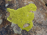 Yellow Rock Lichen  White Mountains  California  USA