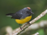 Slate-Throated Redstart  Costa Rica