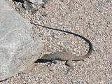 Western Whiptail Lizard (Cnemidophorus Tigris)  Joshua Tree National Park  Mojave Desert