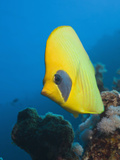 Masked Butterflyfish  Chaetodon Semilarvatus  Elphinestone Reef  Red Sea  Egypt