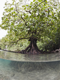 Split Image of a Large Mangrove and its Extensive Underwater Root System  Risong Bay
