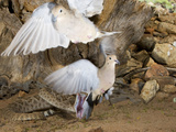 Western Diamond-Backed Rattlesnake (Crotalus Atrox) Strikes at Two Mourning Doves
