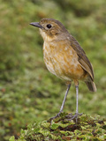 Tawny Antpitta (Grallaria Quitensis) Perched on Paramo Vegetation in the Highlands of Ecuador