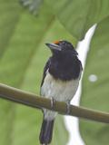 Orange-Fronted Barbet (Capito Squamatus) Perched on a Branch  Rio Palenque Reserve  Ecuador