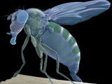 Fruit Fly  SEM