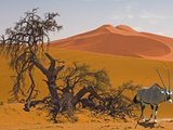 Oryx  Oryx Gazella  in Sossusvlei Sand Dunes Near Skeletal Camelthorn Trees  Acacierioloba