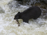 American Black Bear (Ursus Americanus) with Captured Pink Salmon  Tongass National Forest