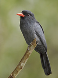 Black-Fronted Nunbird (Monasa Nigrifrons) Perched on a Branch  Napo River in Amazonian Ecuador