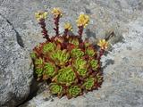 Live-Forever (Dudleya Farinosa)  Salt Point State Park  California  USA