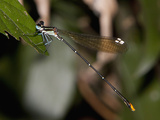 Goldtail Damselfly Male Perched (Allocnemis Leucosticta)  South Africa
