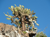 Prickly Bear Cactus (Opuntia Helleeri)  Tower Island  Galapagos Islands  Ecuador