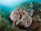Common Octopus (Octopus Vulgaris) over Reef  Cap De Creus  Costa Brava  Spain