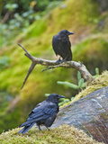 Northwestern Crow (Corvus Caurinus)  Anan Creek  Alaska  USA