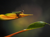 Praying Mantis on a Heliconia Flower  Costa Rica