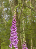 Foxglove Flowers (Digitalis Purpurea)