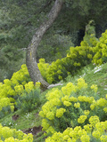 Euphorbia Flowers Growing on the Hillside